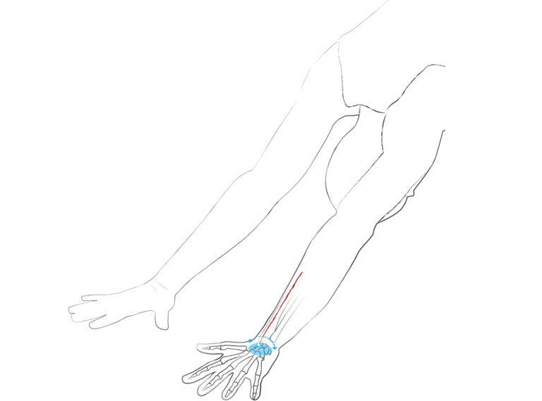 Dr. Ronald Steiner: Anatomie: Wie aus Flügeln Wurzeln werden