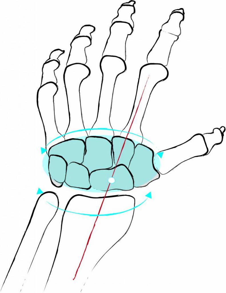 Anatomie: Wie aus Flügeln Wurzeln werden - Yoga World - Home of Yoga ...