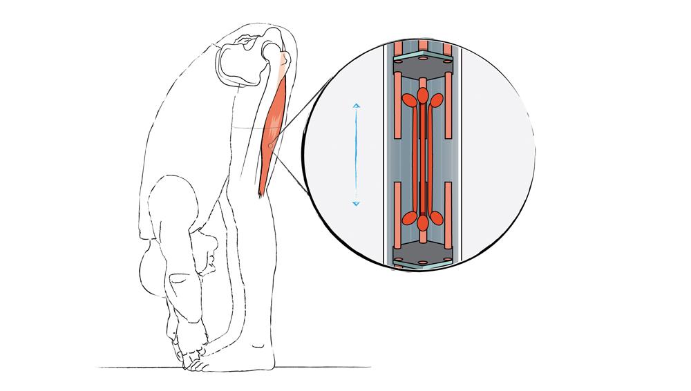 Dr. Ronald Steiner: Die Anatomie der Vorwärtsbeuge - Yoga World ...