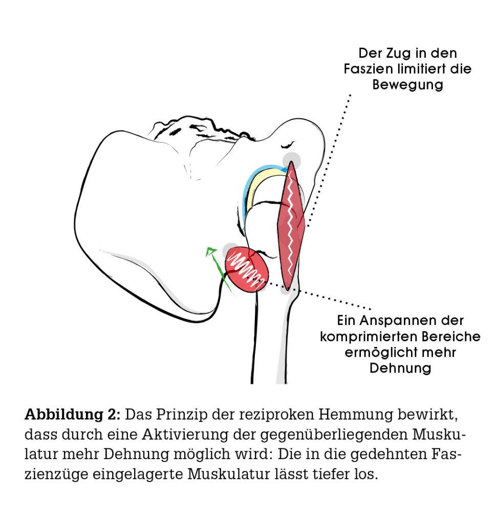 Dr. Ronald Steiner: Yoga Anatomie: Hüftgelenk - Yoga World - Home of ...