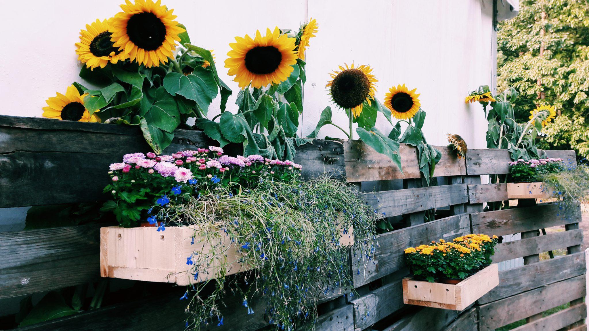 Sonnenblumen begrüßen uns herzlichst